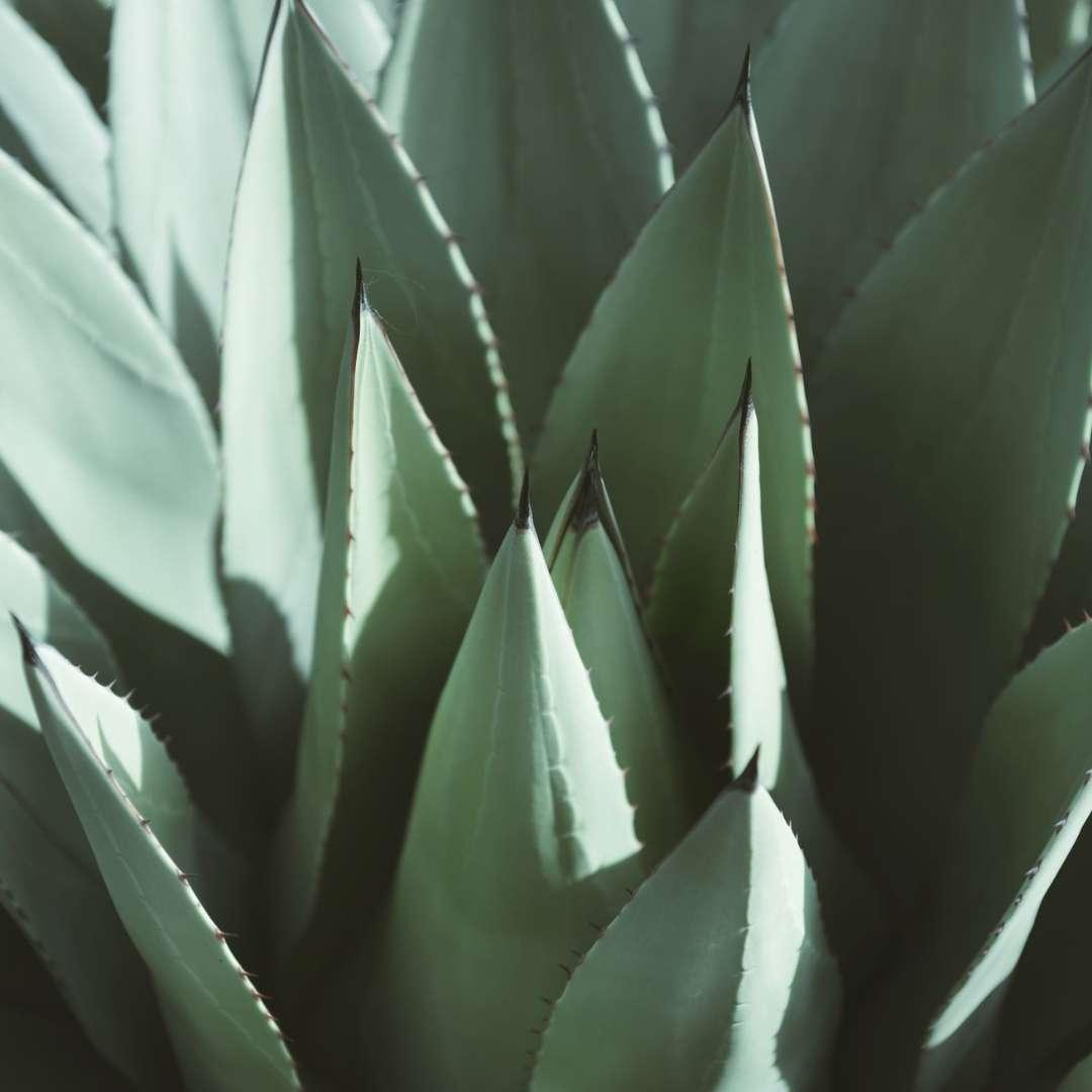 Aroma Agave